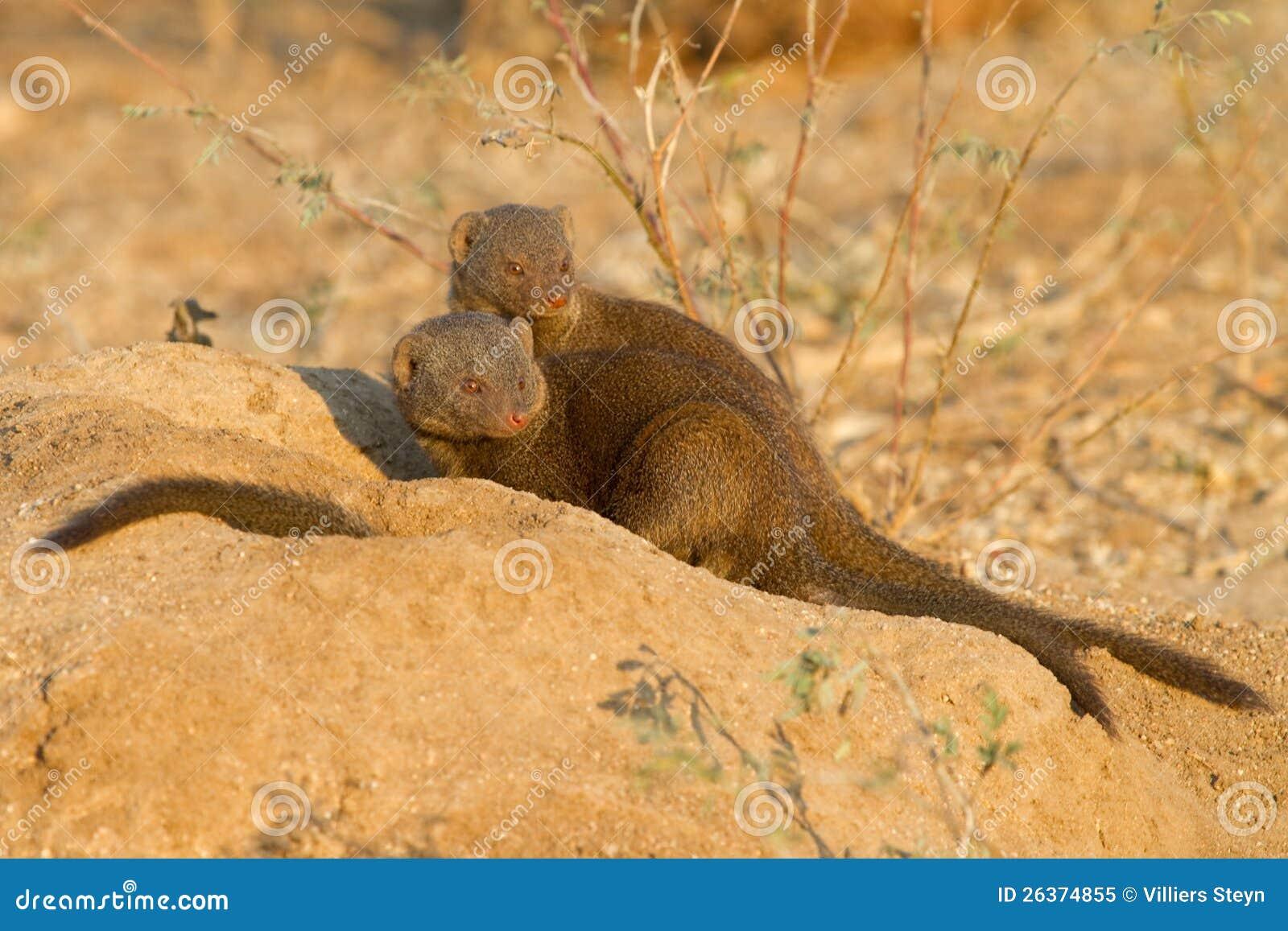 Zwergartige Mungopaare