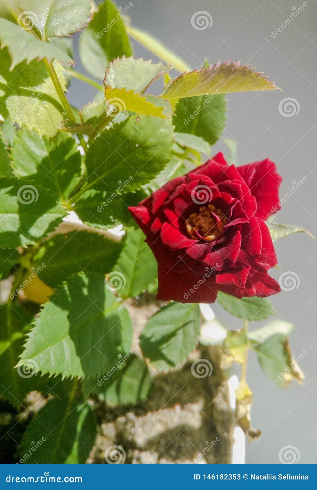 Zwergartige rote Minirose in einem Topf