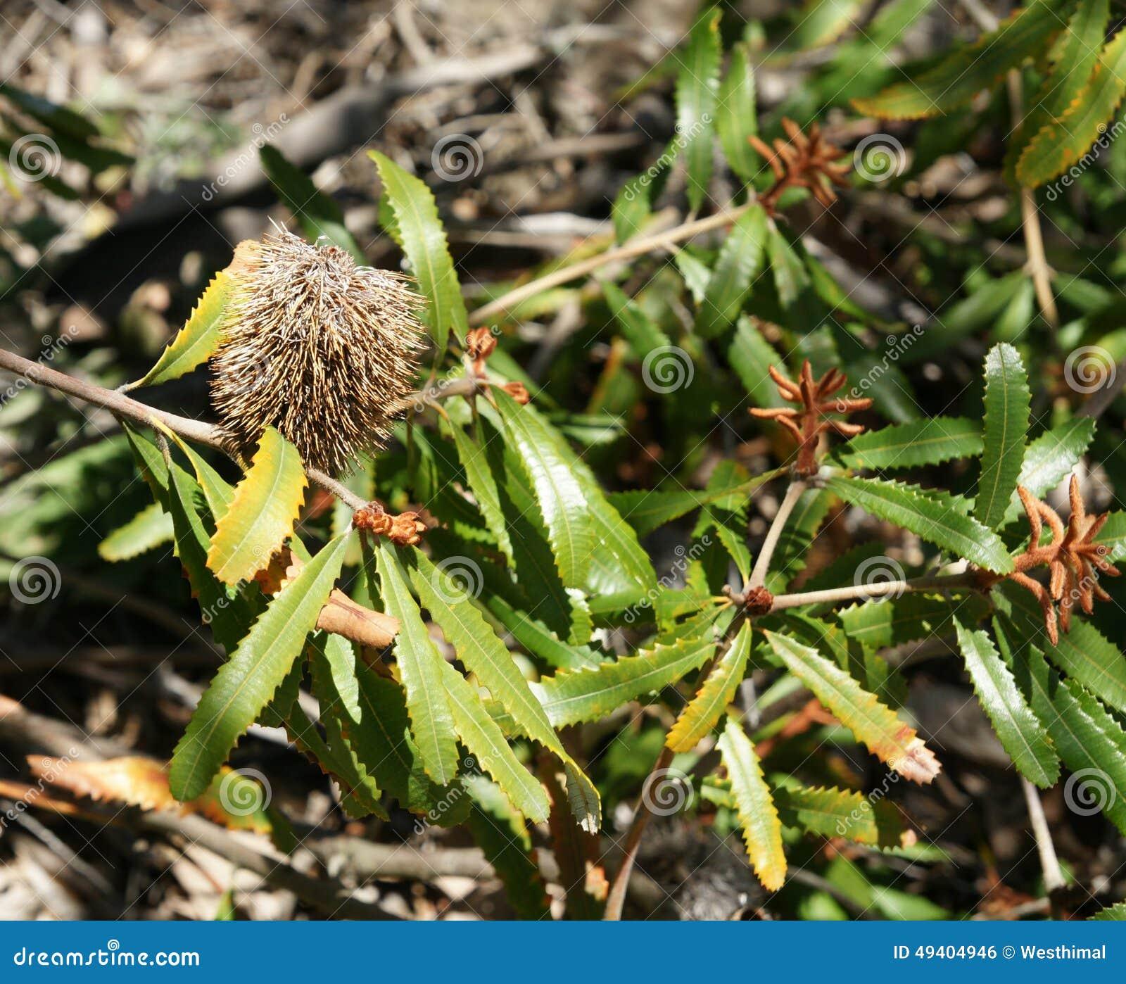 Download Zwergartiger Banksia, Banksia Oblongifolia Stockfoto - Bild von spitzen, gelb: 49404946