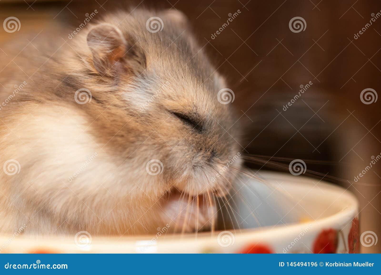 Zwergartiger Hamster schläft in der Nahrungsmittelschüssel