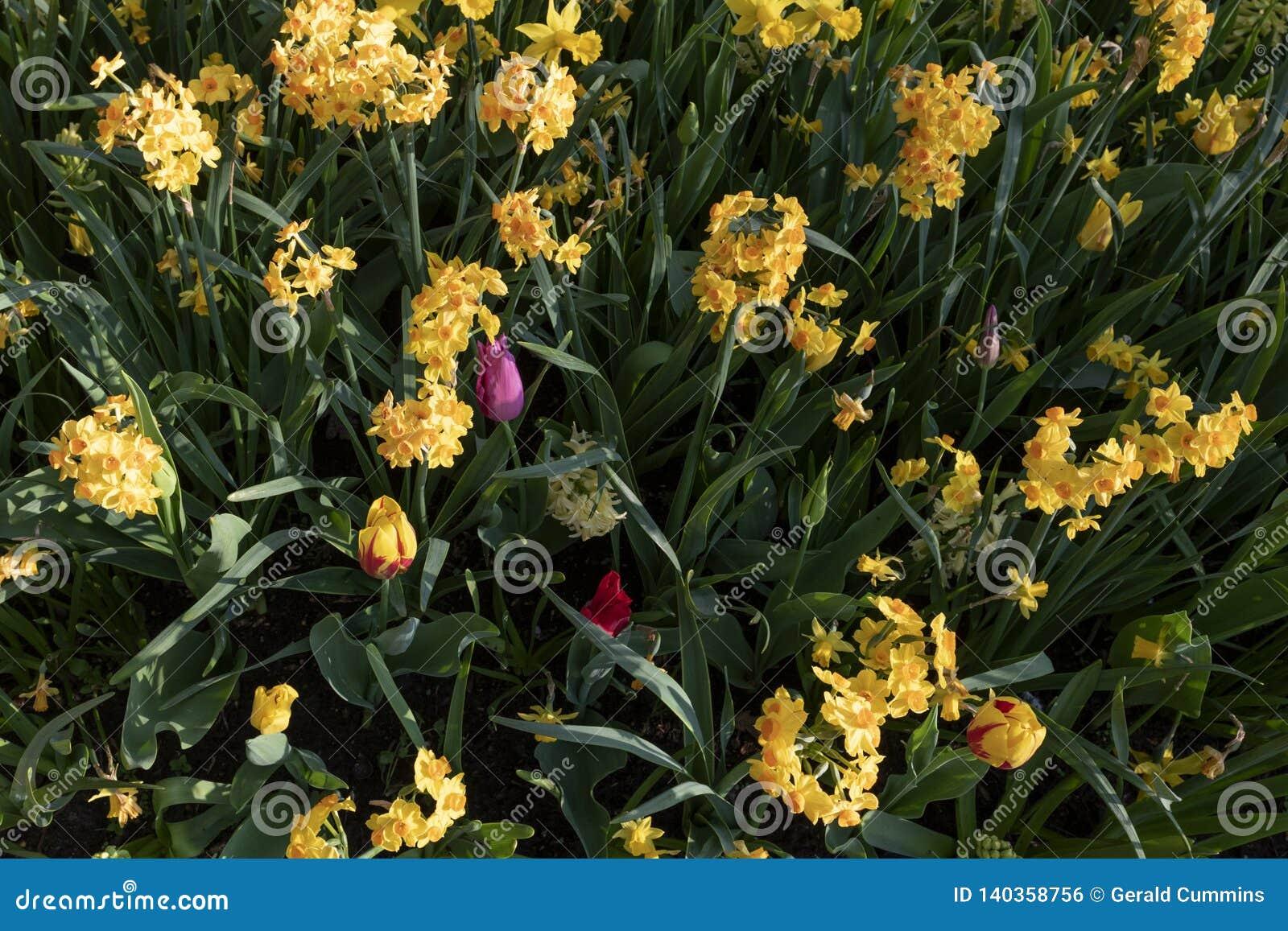 Zwergartiges narcissue, Narzissenblumen Frühlingsmehrjährige pflanze gemischt mit Tulpen