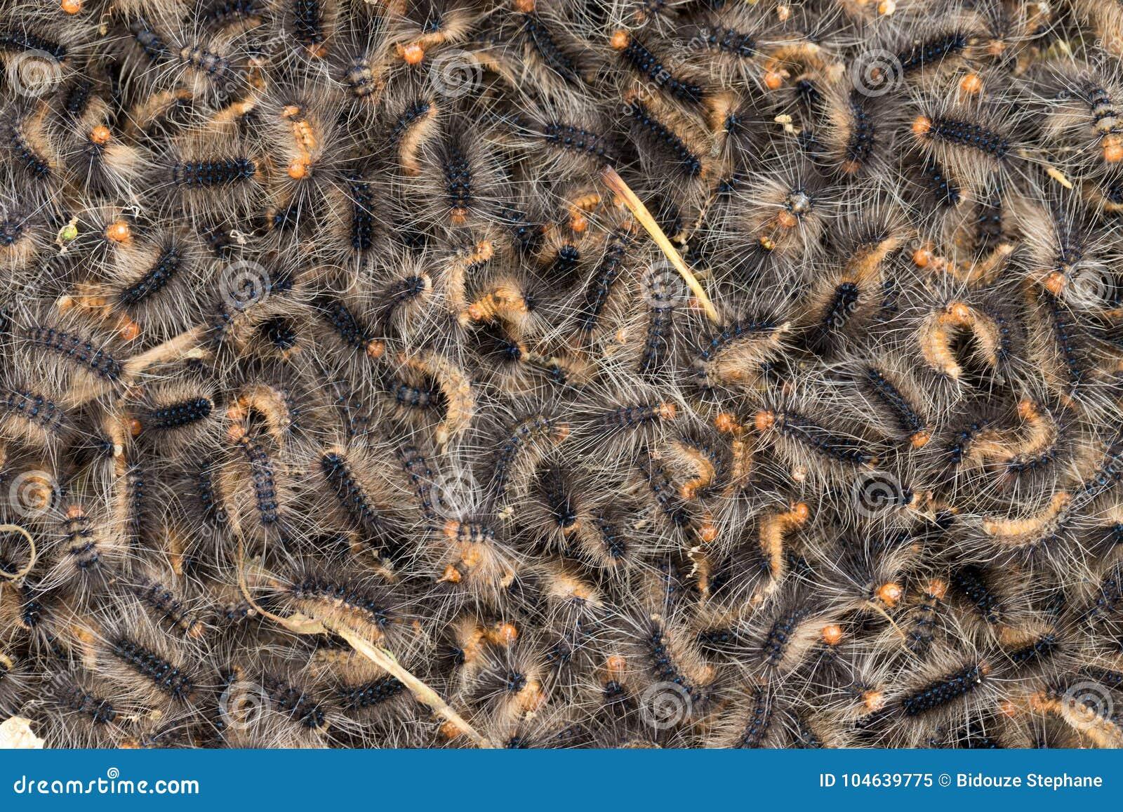 Download Zwerm Van Harige Rupsbanden Stock Afbeelding - Afbeelding bestaande uit harig, textuur: 104639775