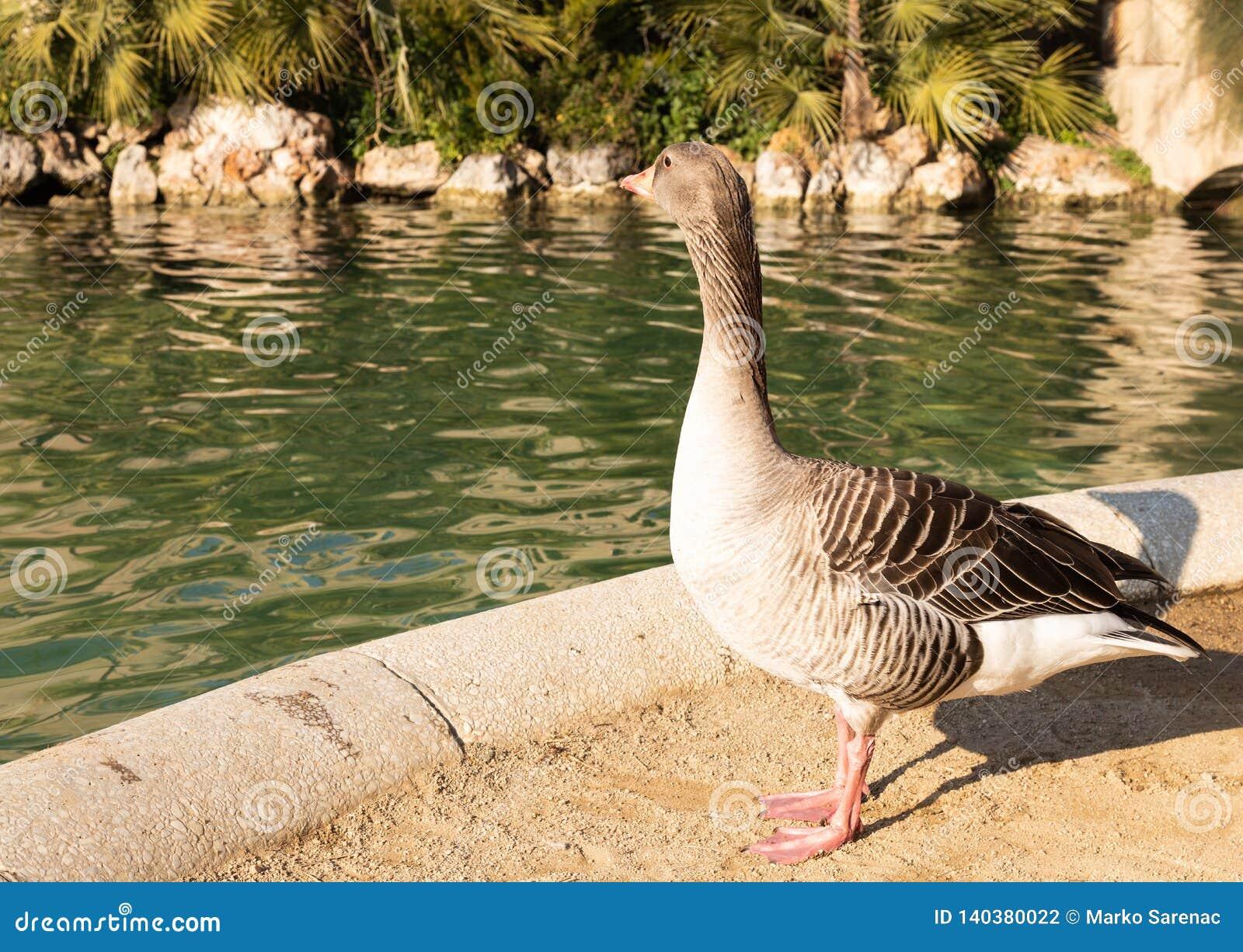 Zwierzę ptak staw Park cytadele Kaczka