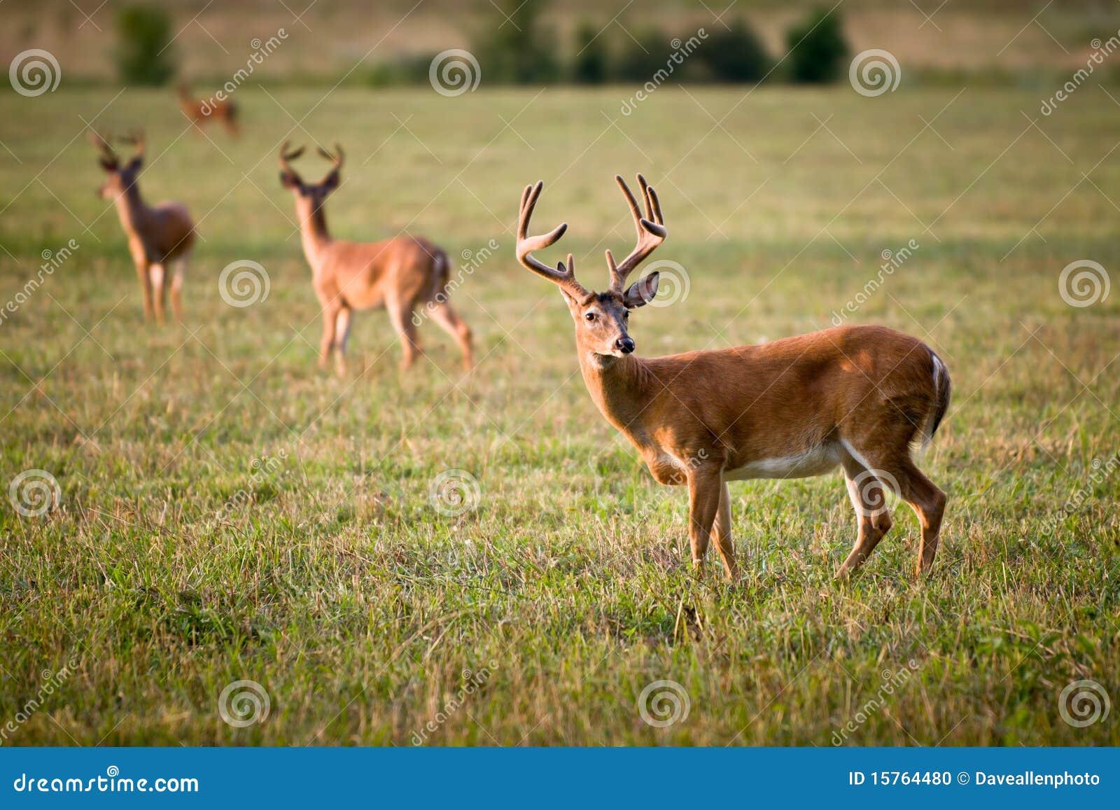 Zwierząt jeleniej natury ogoniasta biały przyroda