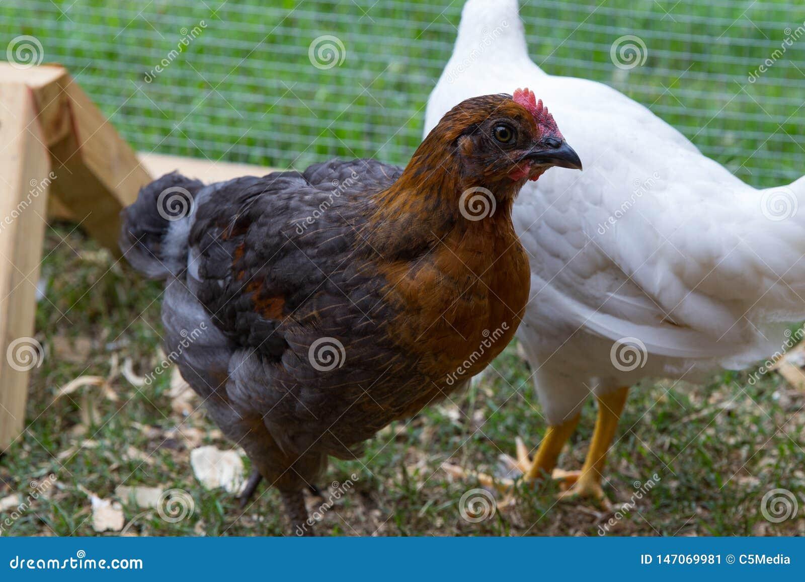 Zwierzę domowe kurczak w podwórko kurczaka klatce
