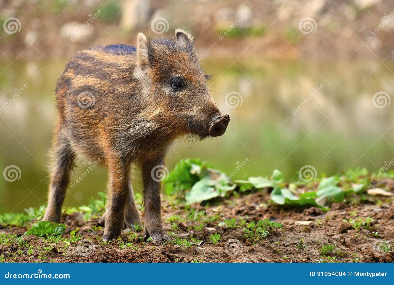 Zwierzę - dziki knur w dzikim Potomstwo niedźwiedzie bawić się w naturze Sus Scrofa