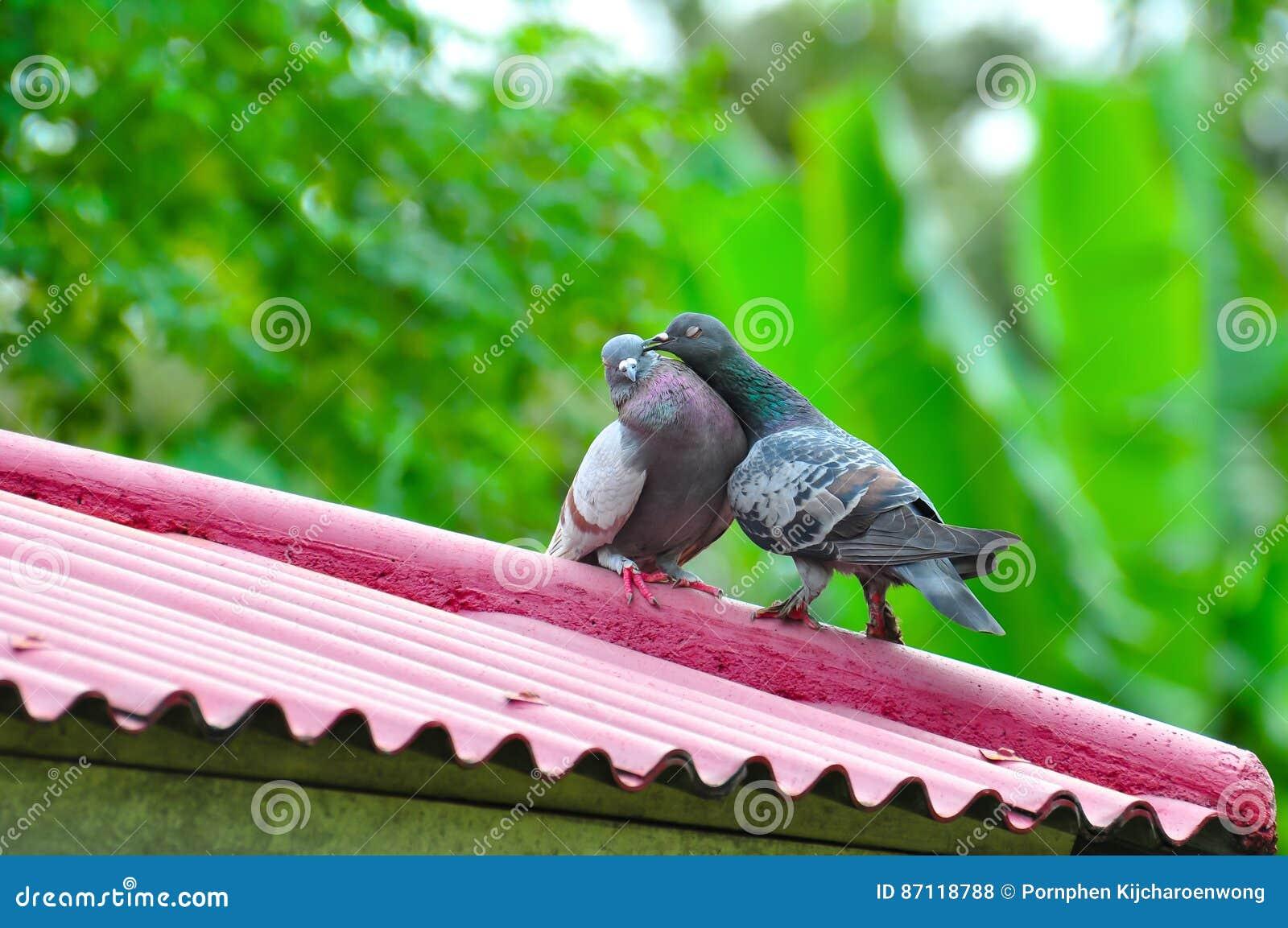 Zwierzę ptaków para urocza gołąbka