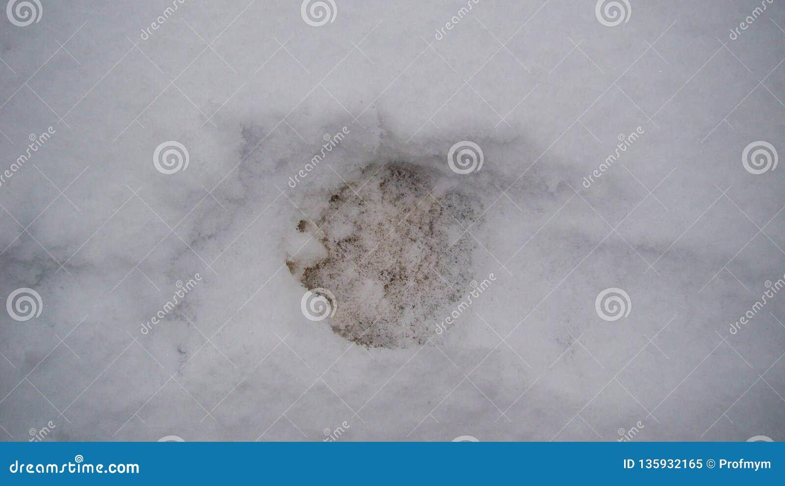 Zwierzę tropi w śniegu - las Europa
