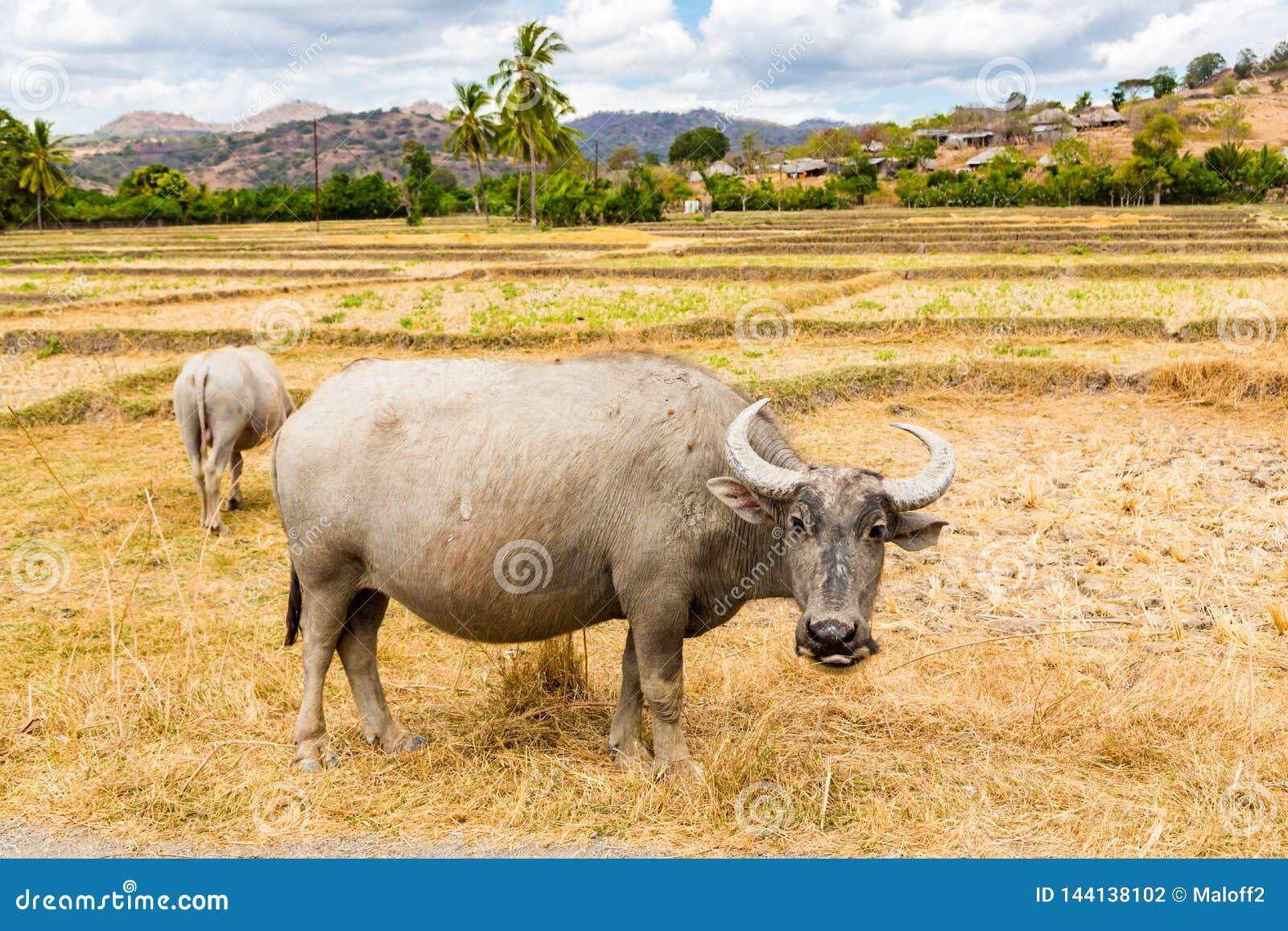 Zwierzę zapas w Azja Południowo-Wschodnia Dwa zebu, bizony lub krowy, bydło na polu Wioska w wiejskim Timor Wschodni, timor -