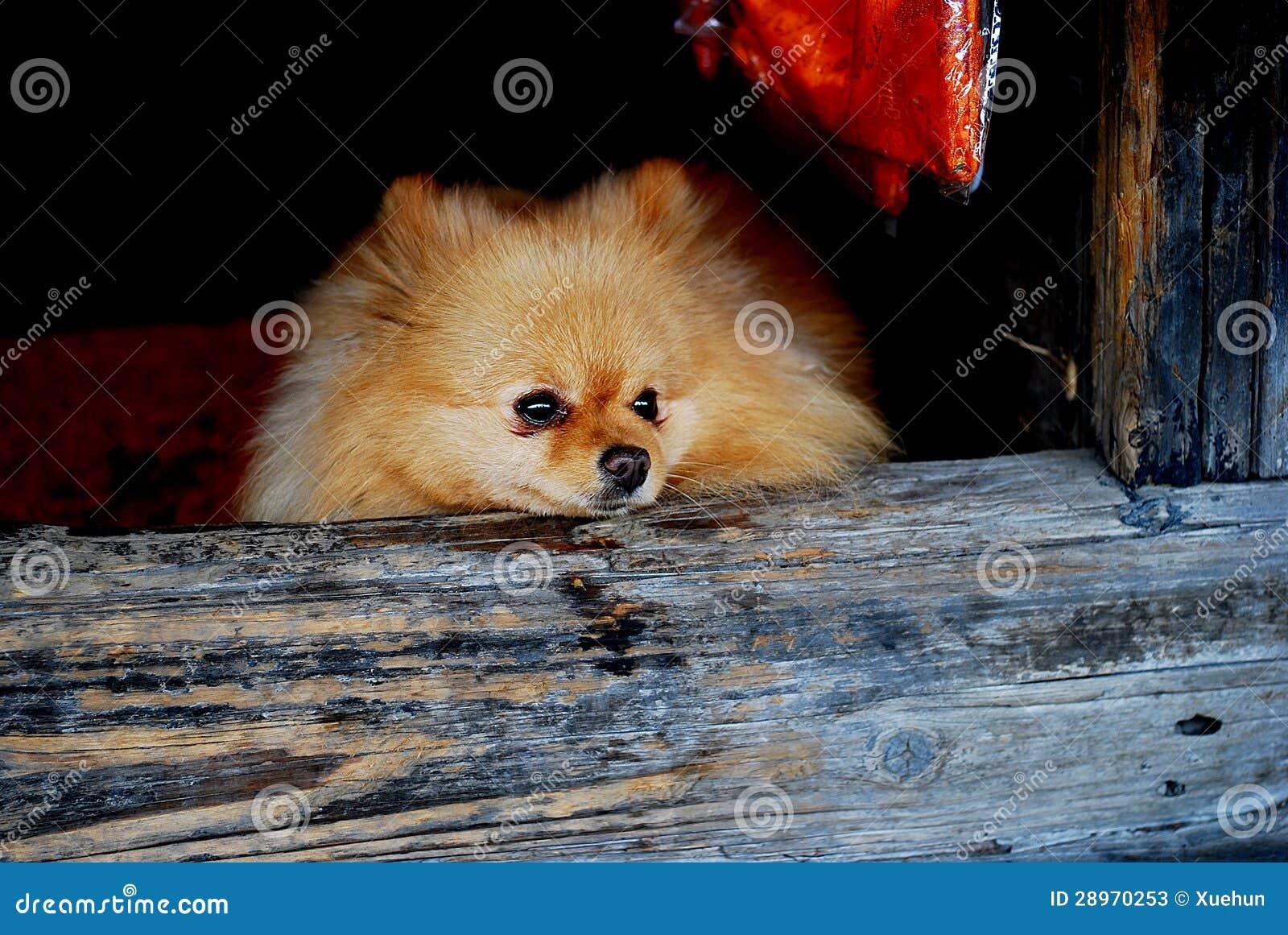 Zwierzę domowe pies