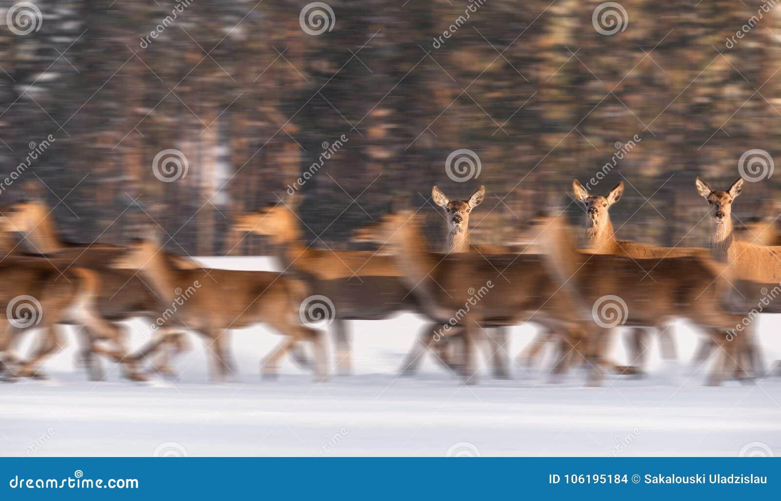 Zwolnione Tempo: Trzy kobiet rogacza Szlachetny stojak Nieporuszony Wśród Działającego stada W tle zima las Clos spojrzenie I