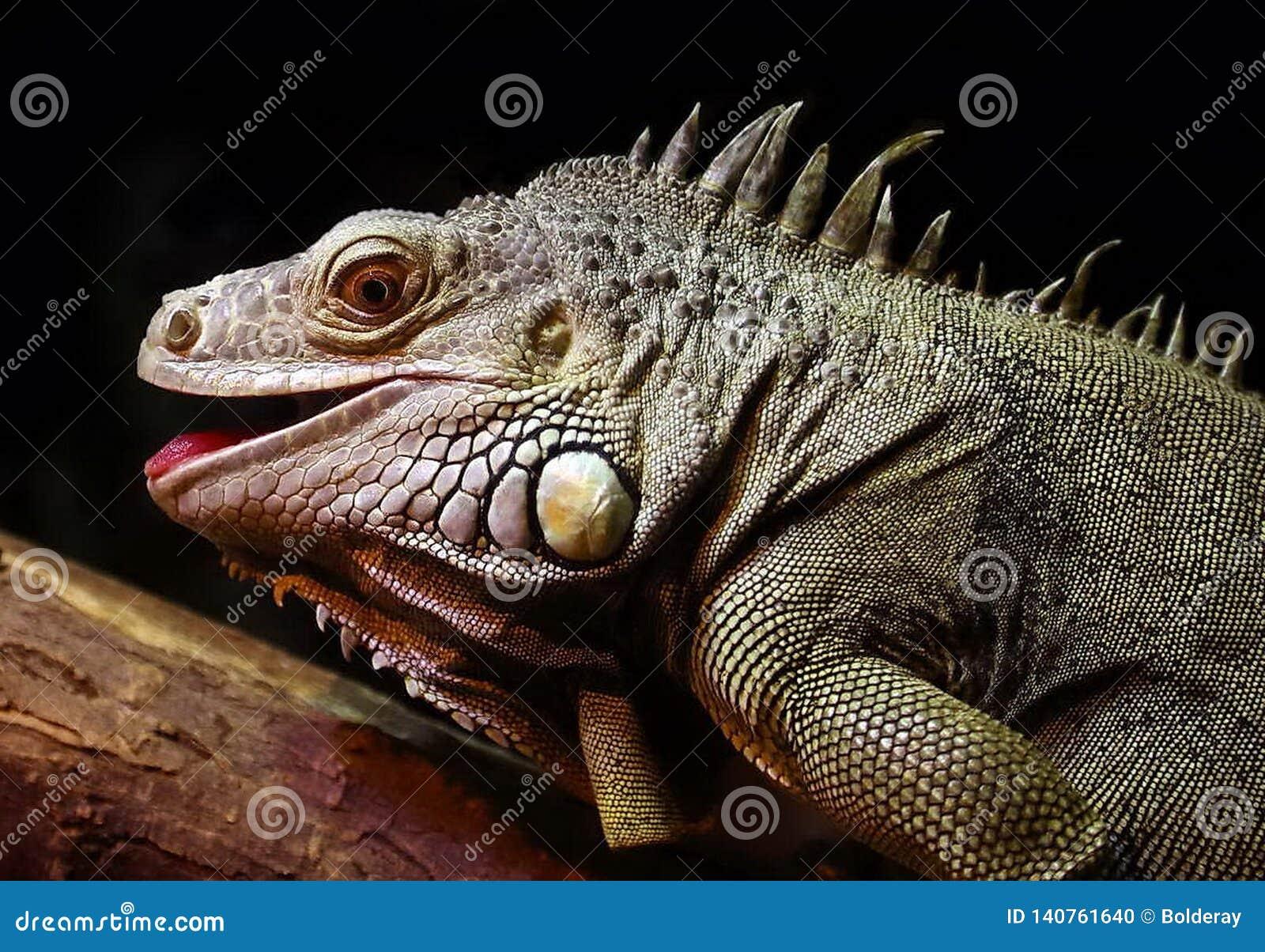 Zwyczajna iguana lub zielony iguany Lat, Iguany iguana jest wielkim trawożernym jaszczurką, prowadzi dziennego odrewniałego życie