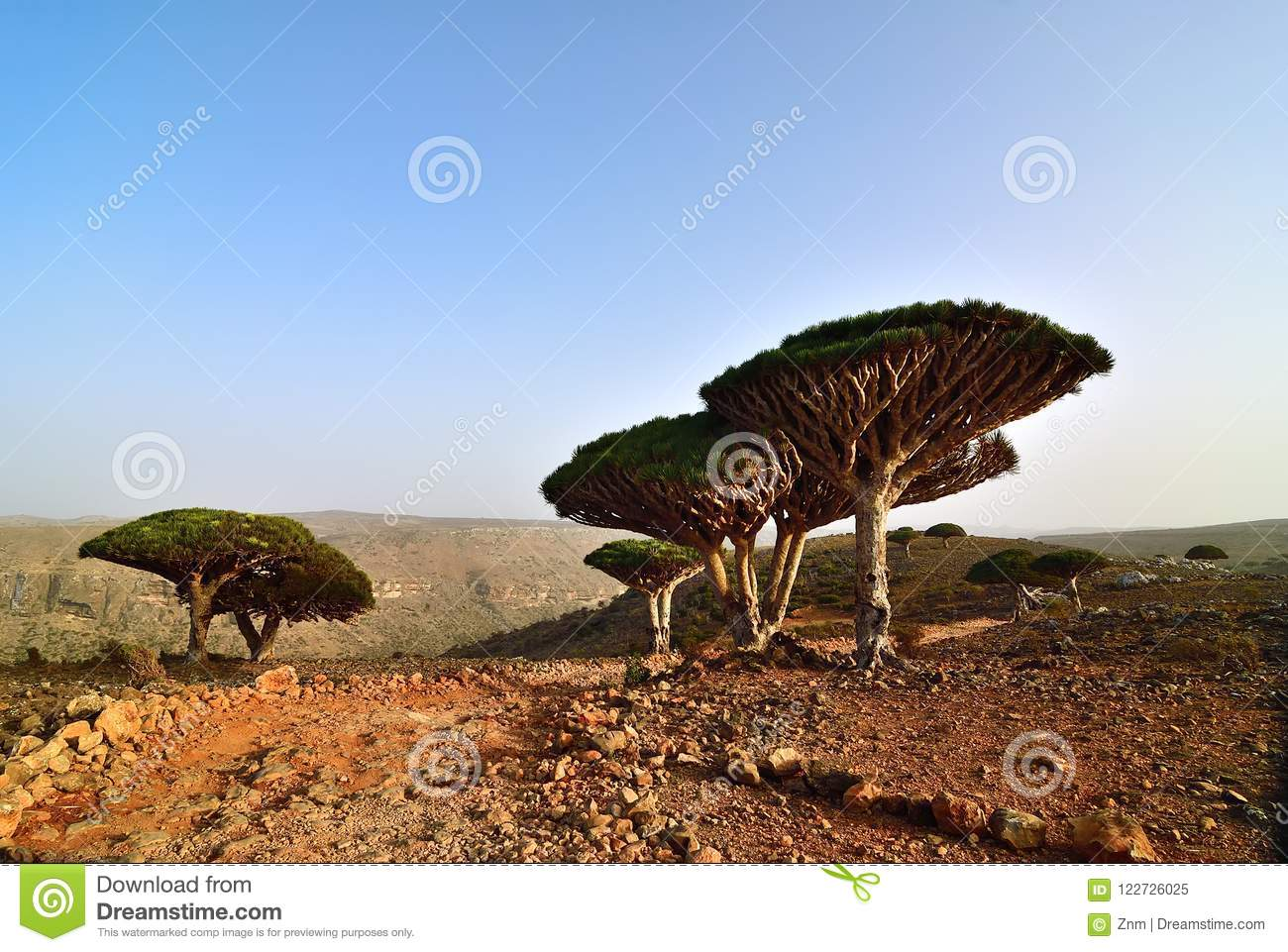 Árvores do sangue de dragão, Socotra, Iémen
